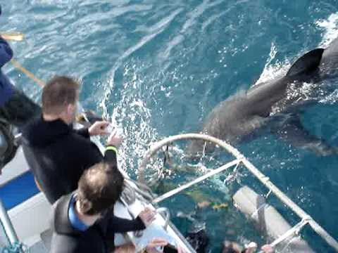 Great White Shark cage diving in Hermanus (near Cape Town), South Africa