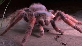 Tarantula Song