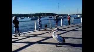Greedy Pelican