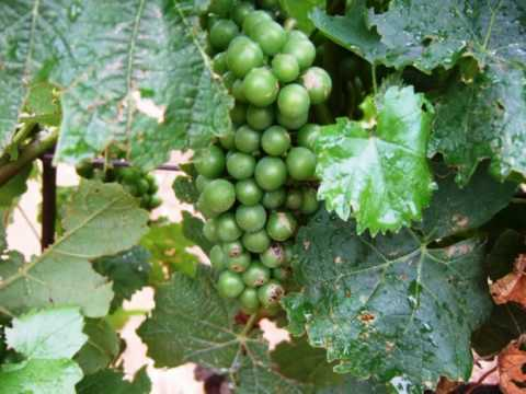 Южная Африка. Виноградники