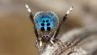 """Peacock Spider """"Stayin' Alive"""""""