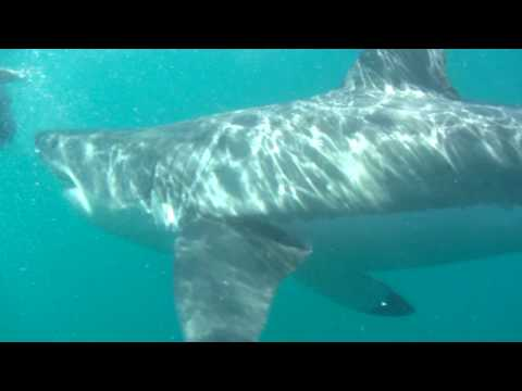 south africa great white shark 's vs Blur Song 2
