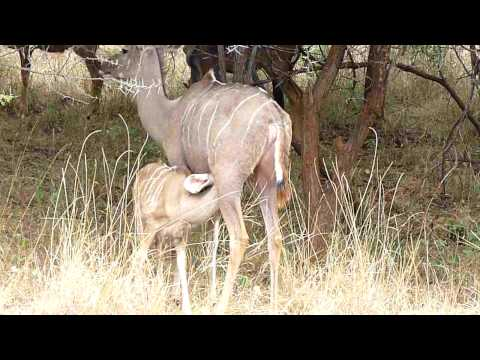 Kudu with calf in the wild