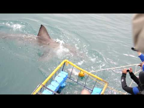 Sharkattack 3 on cage Gansbaai South Africa