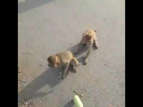 Monkey feeding UP Allahabad