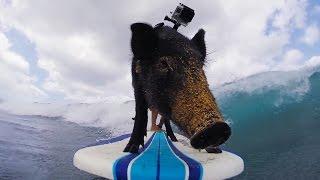 VIDEO. El este Kama, porcul care face surf