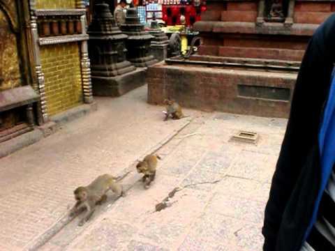 Swayambhunath (Monkey Temple) Nepal – Feeding monkey coconut!
