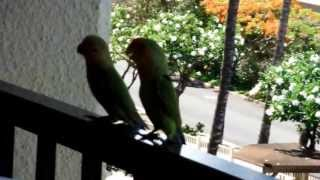 Maui Wild Love Birds Visiting Kihei Akahi Unit C618