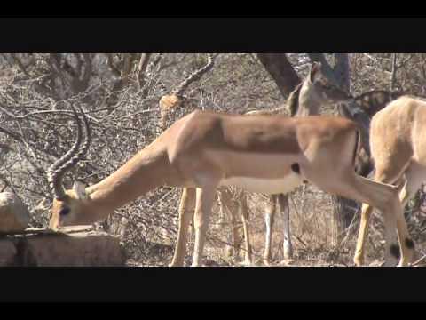 Randy Impala #1 Diekie Muller Hunting Safaris Bow Hunting South Africa