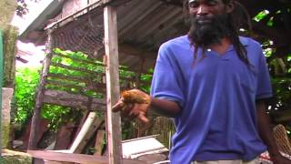 Mad Jamaican Man Eat Wasp Ness With Live Wasp