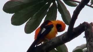 O canto do João pinto, Icterus croconotus, Orange-backed Troupial