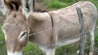 Donkey guarding his goats!