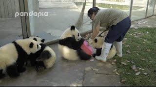 Panda cubs and nanny Mei's war Ⅱ