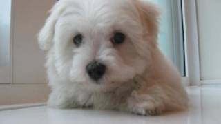 Real Life: My Maltese Puppy!