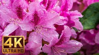 4K Rain on Flowers - Beautiful Scenery | Rain On Leaves Sounds - Trailer