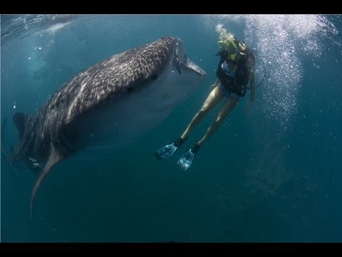 We Love Sharks – Holly Beck Dives with a Whale Shark and Great White Sharks