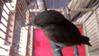 Burung Flamboyan Dengan Suara Khas nya width=