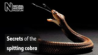 Secrets of the spitting cobra | Natural History Museum