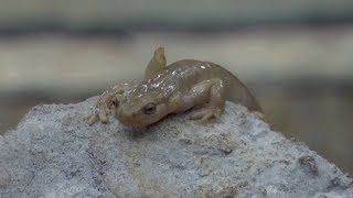 Xinjiang breaks salamander record in 2018