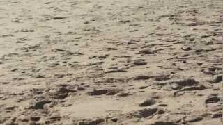 milhares de caranguejos mortos na praia fonte da telha!!!