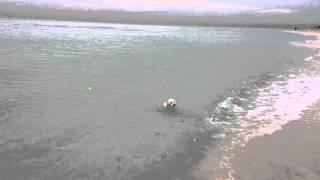 Bichón maltés aprende a nadar