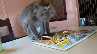Perfect Monkey Puzzle