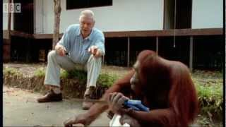 Attenborough: Amazing DIY Orangutans | BBC Earth width=