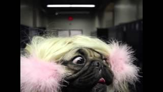 Baby One More Time - Doug The Pug