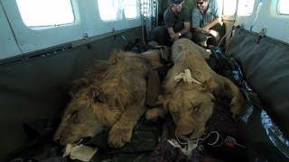 Novo lar para os leões sul-africanos