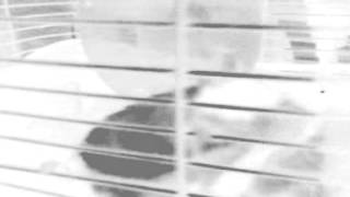 Lmao funny Hamsters in a cage Singing locked up