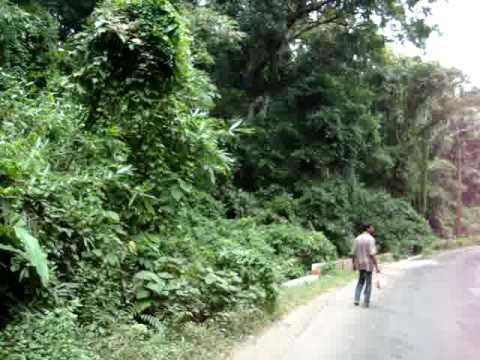 Sound of hoolock Gibbon at Lawachara National Park, Srimangal