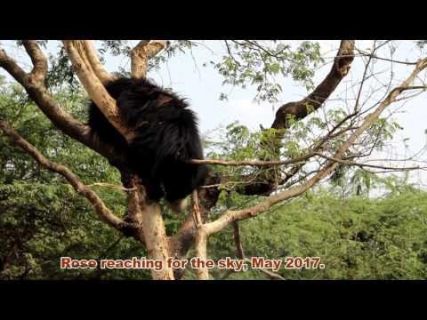 Sloth Bear Rescue & Rehabilitation