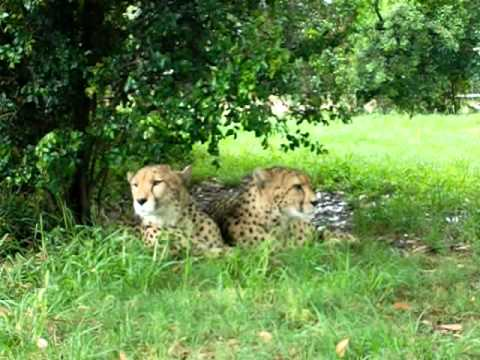 Cheetah's in South Africa