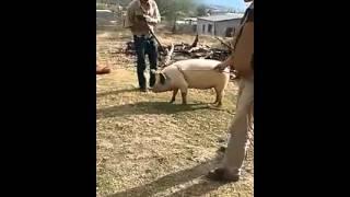 El cerdo con suerte de no morir de la manera más cruel