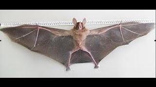 grande Morcego capturado em São Paulo fevereiro 2013