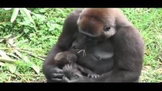 Gorilla Mom Protect Baby