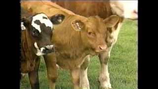 Teletubbies - Cows and Calves