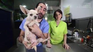 PERROS - Las enfermedades más comunes de los Chihuahua adultos