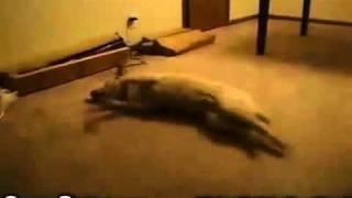 Perrito sueña Que Corre
