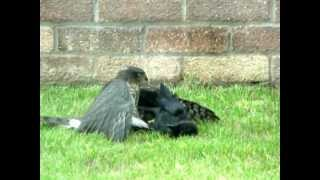 Hawk fighting with a Crow