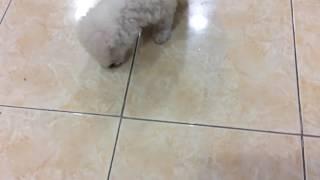 Chó poolldle con