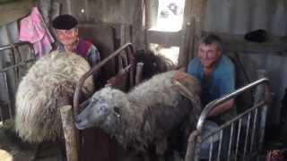 mulsul oilor in Moldova