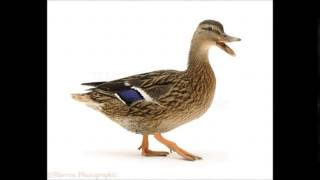 Duck quacking HD Sound Effect Graznido de pato Efecto de sonido HD