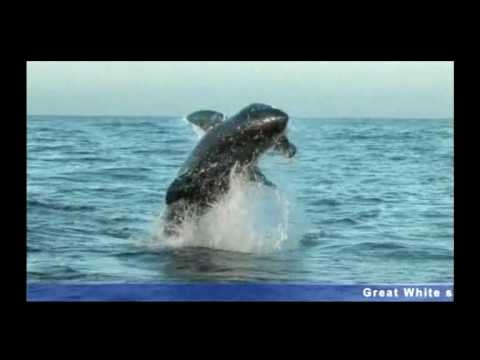 Spoof Video – Crazy tourist plays with Great White Shark
