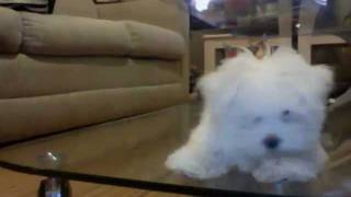 Cute Maltese puppy barking