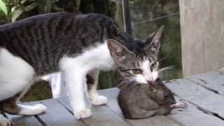 Fight!!! Cat vs Huge Rat