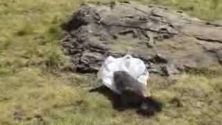 Les marmottes du saut du Laire