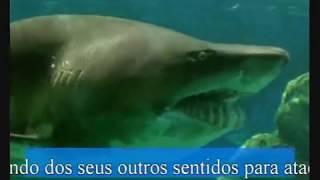 Tubarão Touro - Bull Shark