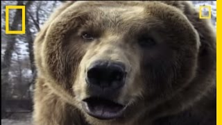 How to Survive a Grizzly Attack | National Geographic