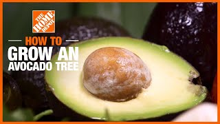A video on how to plant and grow avocados.